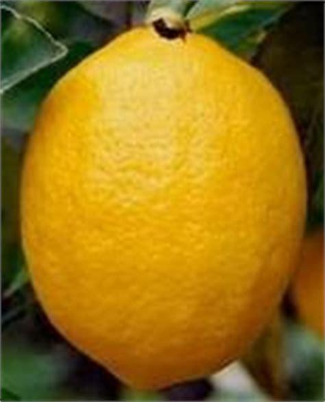 Benihbibitbiji Buah Jeruk Lemon Cui bibit buah sari pupuk bsm jeruk lemon cui