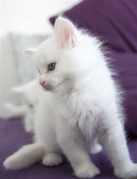 Stunning White Maine Coon Kitten   Newry, County Down