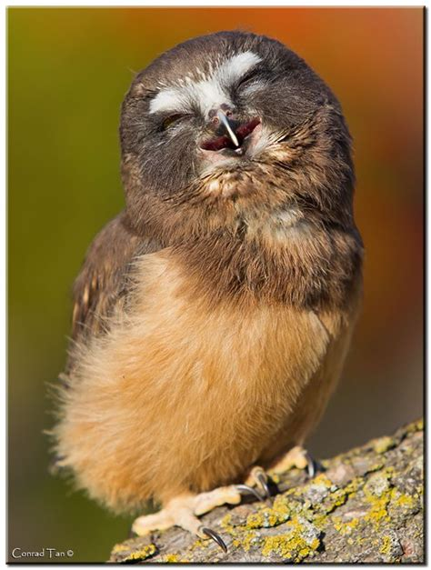Happy Owl Top owl giggles pictures baby owl smile owl conrad tans happy owl photo birds owls