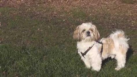shih tzu chien 2015 ipso chien shih tzu de 19 mois au bord de l eau