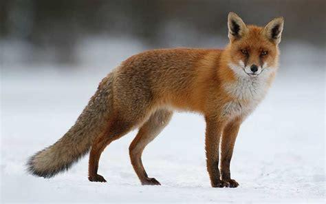 imagenes de zorros tristes conmoci 243 n generan las im 225 genes de un zorro congelado tras