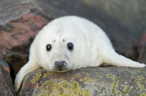 Seal Pop Seal Jus outrage as hundreds of seals secretly slaughtered by britain s fish farming industry mirror