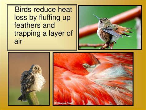 Bird Heat L by Ppt Phylum Aves Powerpoint Presentation Id 35724
