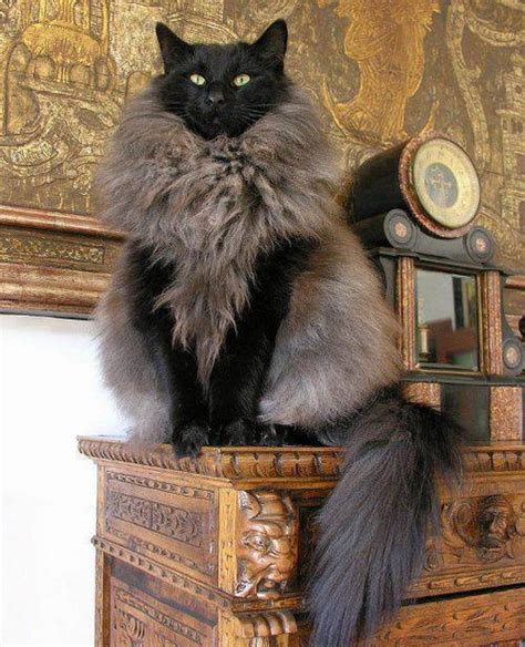 Black Friday Dog Beds The Fancy Norwegian Forest Cat Sitting On Its Pedestal