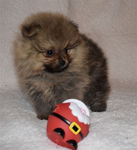 teddy pomeranian breeders uk teddy pomeranian puppies boys swansea swansea pets4homes