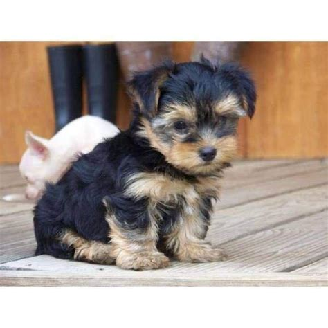tea cup yorkie price and charming yorkie now ready lowest price