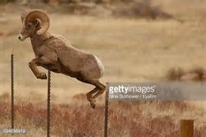 the ram animal ram animal stock photos and pictures getty images