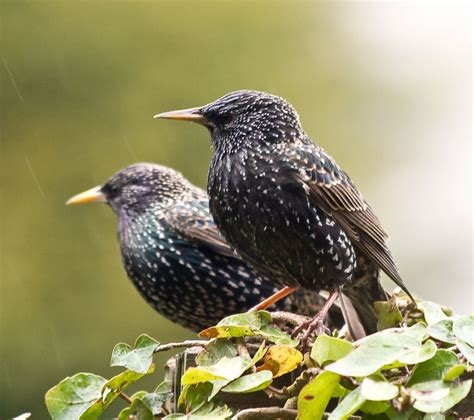 starlings graphics and animated gifs