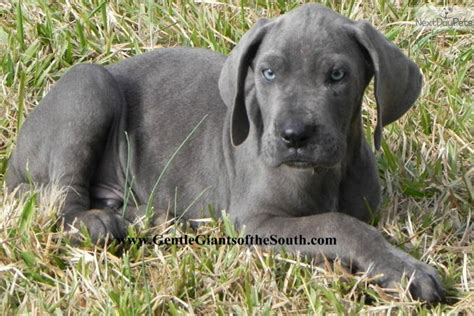 great dane puppies for sale in ga great dane puppy for sale near atlanta 1fc8017b 7fe1