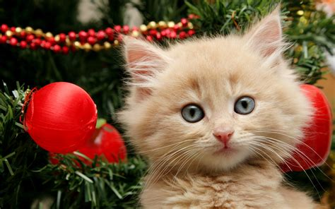images of christmas cats merry christmas kitten wallpaper 2560x1600 2829