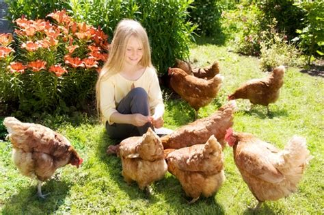 How To Raise Laying Hens In Your Backyard by Raising Backyard Chickens Aja Health