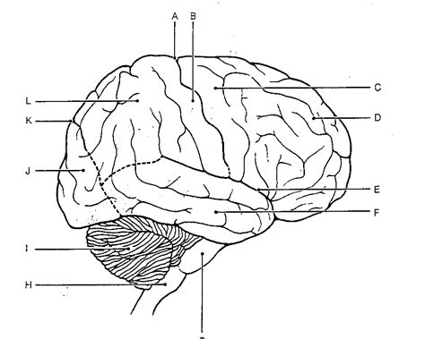 Brain Labeling Worksheet by Brain Anatomy Coloring Pages Az Coloring Pages