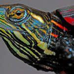 turtles  pets  beginners   turtles eat