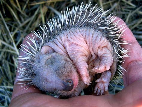 Sleeping baby hedgehog   Teh Cute