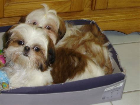 shih tzu grown up pups of past