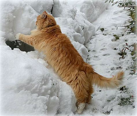 snowball oranges one mallorcan winter books 239 best images about cats in winter on cats