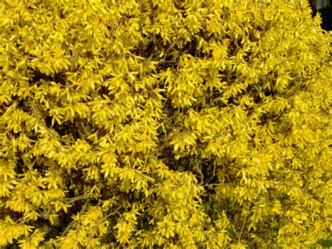 Arbuste Fleurs Jaunes Qui Fleurit Printemps by Forsythia Forsythia Plantation Bouture Culture