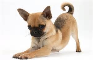 pug cross husky gambar anjing kacukan carigold forum