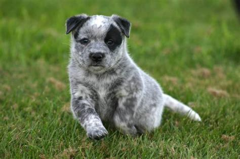 and blue heeler puppies for sale blue heeler puppies blue heeler puppies for sale in nanaimo columbia