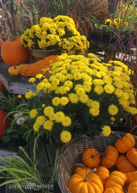 keep your fall flowers blooming all season with this essential care guide for hardy mums