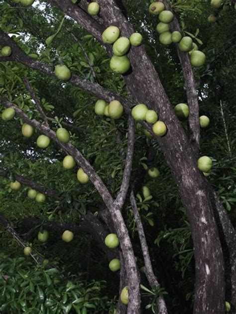 tree with gourd like fruit trees a tree and plays on
