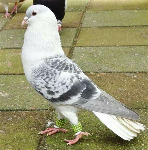 Tumbler Bird 1 Tumbler Tumbler 60 best fancy tumbler pigeons images on