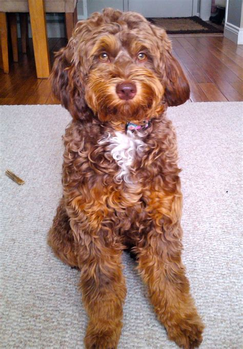 mini labradoodles oklahoma 18 best images about doodles on poodles