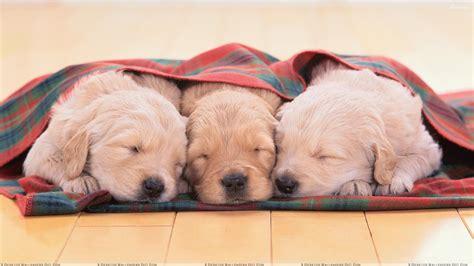 three puppies three white puppies sleeping wallpaper