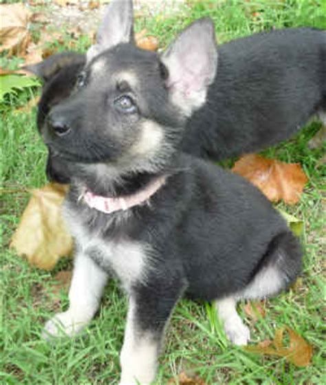 silver german shepherd puppies for sale dogs and puppies