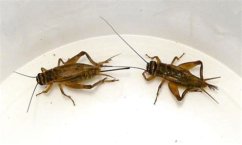 house cricket anatomy advanced insect breeding systems