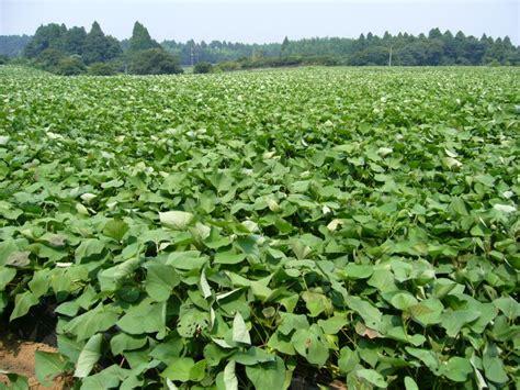 Quand Planter Les Patates Douces by Patate Douce Ipomoea Batatas Semis R 233 Colte Culture