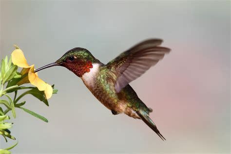 do hummingbirds really hum wonderopolis