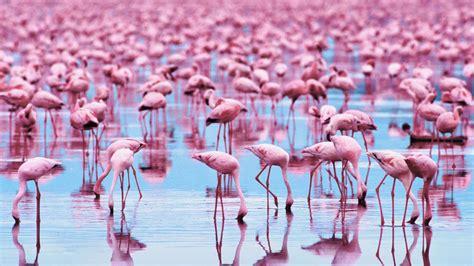 flamingo live wallpaper download bilder f 252 r das handy tiere v 246 gel flamingo