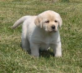 Yellow Labs For Sale In Maine » Home Design 2017