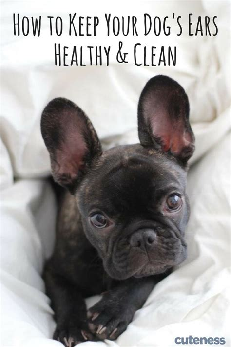 itchy ears shaking home remedy 17 best images about pet health on itchy for dogs and pets
