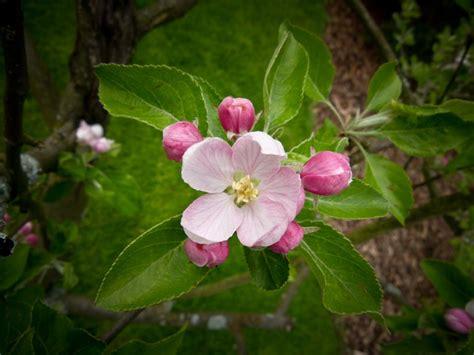 westford apple blossom festival