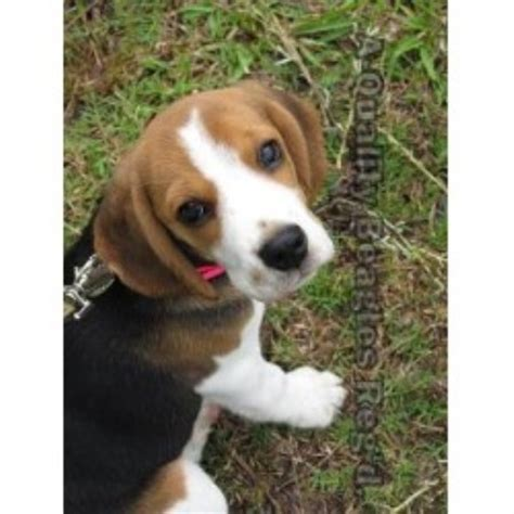 beagle puppies for sale in sc acres beagles beagle breeder in bonneau south carolina listing id 21015