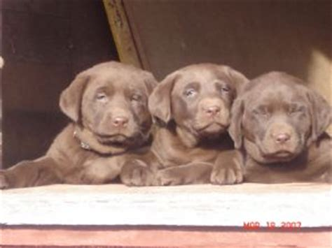lab puppies for sale in south dakota labrador retriever puppies in south dakota