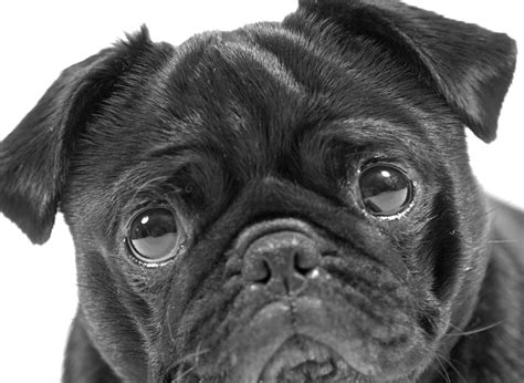 black and pug the black pug black white black pug ladybeast flickr