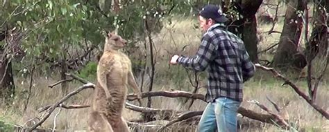 kangaroo punch not kidding punches kangaroo in the to protect his the