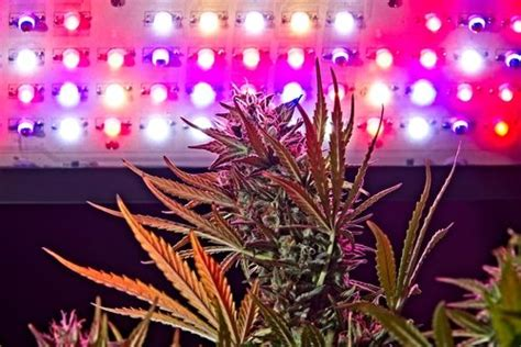 using led lights tutorial how to grow cannabis indoors using led grow
