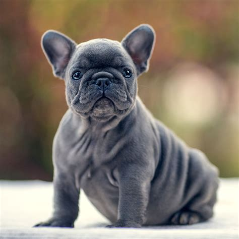 frenchie for sale our bulldog puppy for sale bulldog for sale