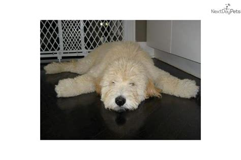 goldendoodle puppy houston goldendoodle puppies for sale in houston area