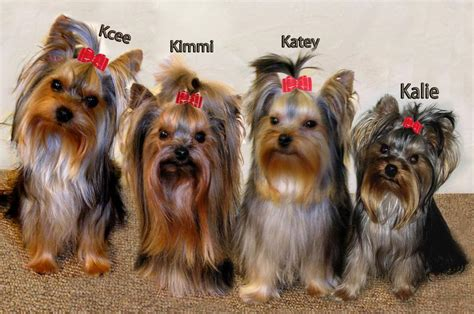 www yorkies haircuts for yorkies pictures newhairstylesformen2014