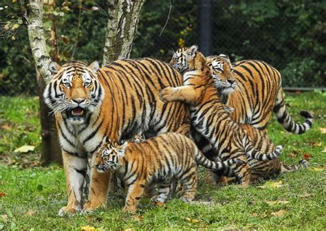 baby tiger with big tiger with images adorable tiger cubs meet their for the 1st time abc news