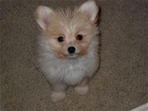 beagle pomeranian mix for sale chiwawa mix with pomeranian search animals i chihuahuas