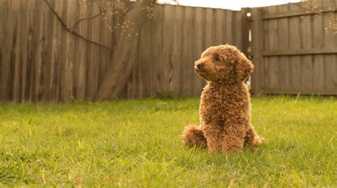 Do Standard Poodles Shed by Poodles Oodles And More Non Shedding Purebred And
