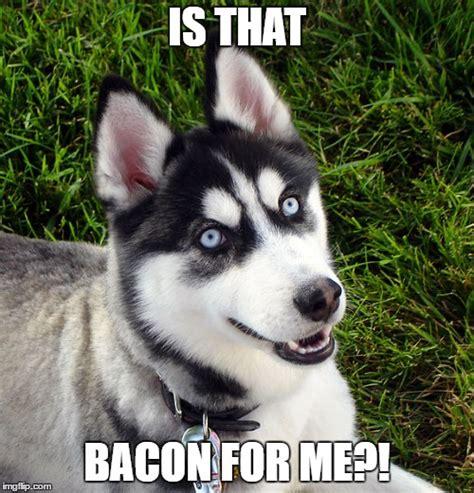 Huskie Meme - 8 funny siberian husky memes what every dog deserves