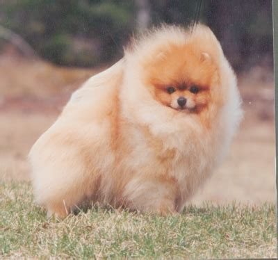 chriscendo pomeranians chriscendo pomeranians can am ch chriscendo calvin klein romx quot calvin quot
