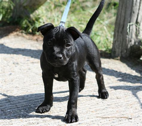 do all dogs webbed ask the guide staffordshire bull terrier with webbed